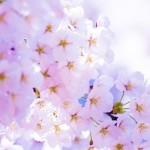 お花見は京都へ!見ごろやおすすめスポットは?
