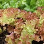 春に植える野菜はどんな種類があるの?土づくりの基本は?