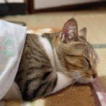 猫の肥満対策!解消法は?運動させる工夫は?BCSとは?