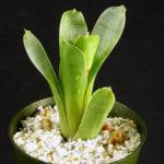 食虫植物ブロッキニアってどんなの?育て方は?